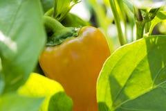 La photo de plan rapproché de l'élevage et mûrissent les poivrons oranges parmi l vert Photographie stock