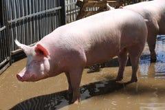 La photo de vue de côté du rose a coloré la jeune truie de porc à la ferme d'animaux Image libre de droits