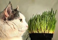 La photo haute étroite de chat avec l'herbe verte pousse Photo libre de droits