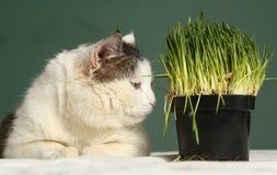 La photo haute étroite de chat avec l'herbe verte pousse Photographie stock