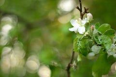 La photo simple de l'encore-vie du ressort fleurit sur l'arbre image stock
