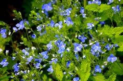 La photo verte et bleue d'été de Veronica, ` d'anges observe photographie stock libre de droits
