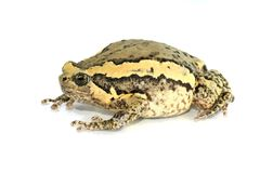 La physiologie externe de la grenouille de grenouille mugissante avec un fond blanc Images libres de droits