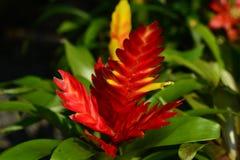 La piña roja brillante Fotografía de archivo libre de regalías