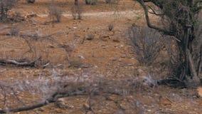 La più piccola antilope Dik Dik passa Savannah Amongst The Bushes africana archivi video