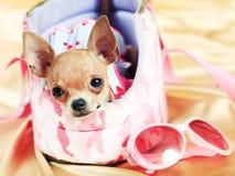 La più piccola razza del cane Fotografia Stock Libera da Diritti