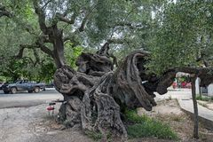 La più vecchia oliva di Zacinto, Grecia immagine stock libera da diritti