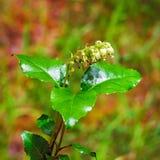 La pianta è lat unilaterale Secunda di Orthilia Erba perenne Fotografia Stock