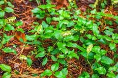 La pianta è lat unilaterale Secunda di Orthilia Erba perenne Immagine Stock