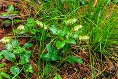 La pianta è lat unilaterale Secunda di Orthilia Erba perenne Immagini Stock