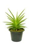 La pianta è nel vaso Immagine Stock Libera da Diritti
