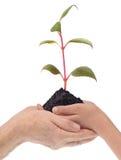 La pianta è nelle mani del grand-dad e del nipote Immagini Stock Libere da Diritti