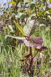 La pianta è specie dilaganti in Europa Fotografie Stock Libere da Diritti