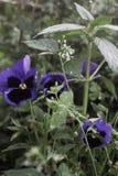 la pianta appartiene alla famiglia viola fotografia stock