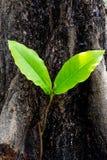 La pianta con due foglie sta sviluppandosi Fotografie Stock