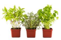 La pianta conservata in vaso del basilico, del timo e del prezzemolo con fondo isolato, si è arrossita a sinistra Immagini Stock