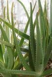 La pianta conservata in vaso di vera dell'aloe, il gel dalle foglie è utilizzata nel cosme Immagine Stock