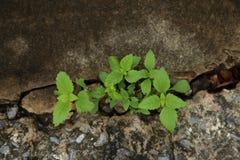 La pianta cresce su pavimentazione incrinata Immagini Stock