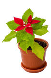 La pianta da appartamento della stella di Natale Fotografie Stock