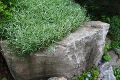 La pianta decorativa, erba dei rosmarini si sviluppa in giardino Fotografia Stock
