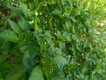 La pianta dei peperoncini rossi immagini stock libere da diritti