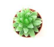 la pianta dei succulenti in vaso su fondo bianco, sopraelevato o a Fotografia Stock