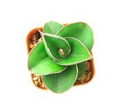 la pianta dei succulenti in vaso su fondo bianco, sopraelevato o a Immagini Stock Libere da Diritti