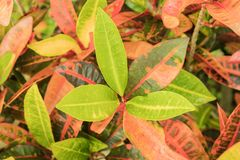 La pianta del Croton lascia la macro del primo piano variopinta Fotografia Stock