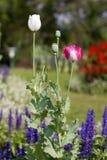 Fiore del papavero. Immagini Stock Libere da Diritti