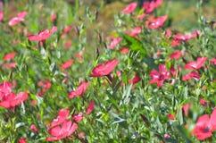 La pianta del lino Fiori rosa Immagini Stock