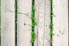 La pianta del trifoglio e dell'erba sta sviluppando attraverso la plancia di legno Fotografie Stock Libere da Diritti