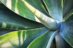 La pianta dell'agave lascia il primo piano fotografie stock