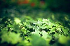 La pianta dell'edera, fuoco selettivo, fondo del bokeh fotografie stock