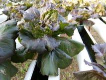 La pianta dell'insalata della lattuga di Butterhead, verdura idroponica va Immagini Stock