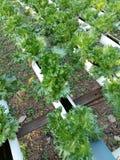 La pianta dell'insalata della lattuga di Butterhead, verdura idroponica va Immagini Stock Libere da Diritti