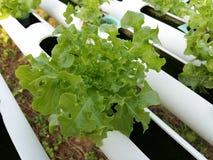 La pianta dell'insalata della lattuga di Butterhead, verdura idroponica va Fotografie Stock Libere da Diritti