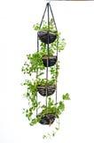 La pianta della Camera che appende, lavora all'uncinetto il lavoro Fotografia Stock