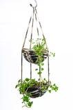La pianta della Camera che appende, lavora all'uncinetto il lavoro Fotografie Stock