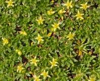 La pianta della copertura al suolo con i piccoli fiori gialli si chiude su Immagini Stock