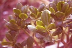 La pianta della giada lascia il fondo colorato nel corallo fotografie stock libere da diritti