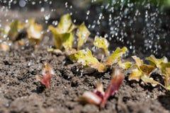 La pianta della lattuga nel campo e nell'agricoltore sta innaffiandolo Fotografia Stock Libera da Diritti