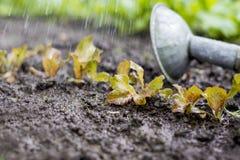 La pianta della lattuga nel campo e nell'agricoltore sta innaffiandolo Immagini Stock