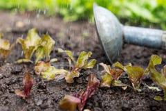 La pianta della lattuga nel campo e nell'agricoltore sta innaffiandolo Fotografie Stock