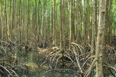 La pianta della mangrovia Fotografie Stock