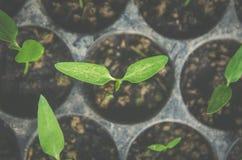 La pianta della plantula e la piantina stanno sviluppando nel vaso Immagine Stock