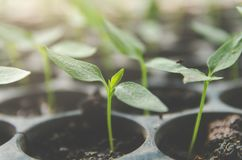 La pianta della plantula e la piantina stanno sviluppando nel vaso Immagini Stock Libere da Diritti