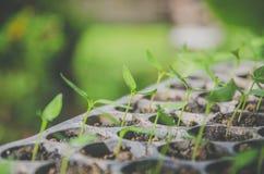 La pianta della plantula e la piantina stanno sviluppando nel vaso Immagini Stock