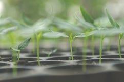 La pianta della plantula e la piantina stanno sviluppando nel vaso Fotografie Stock Libere da Diritti