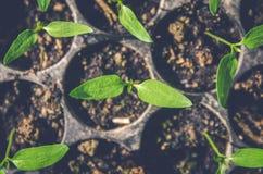 La pianta della plantula e la piantina stanno sviluppando nel vaso Immagine Stock Libera da Diritti