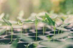 La pianta della plantula e la piantina stanno sviluppando nel vaso Fotografia Stock Libera da Diritti